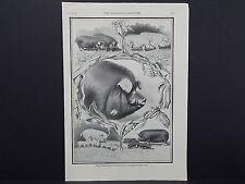 "The Breeder's Gazette Nov 28 1906 Photographic Print #12 Pigs, ""$400,000,000"""