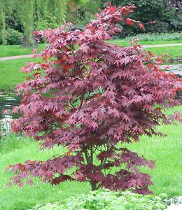 Roter Fächer Ahorn Acer palmatum Atropurpureum 40-60cm