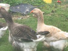 Exhibition Dewlap Toulouse Hatching Eggs Buff Female to split Grey Gander