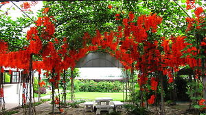 Rare seeds » Mucuna bennettii - Red jade vine - 1 fresh seed