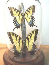 Tiger Swallowtail Butterfly Dome