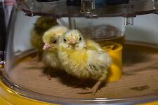 New Brinsea Mini II Advance Incubator - Automatic - 7-12 eggs -UK Made Incubator
