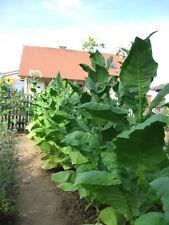 4x1000 graines de tabac, Virginie, Burley, Lataquie, Havanna Corojo