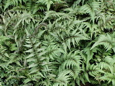 Japanese Painted Fern 24 Plants in 3-1/2 inch Pots Free Shipping