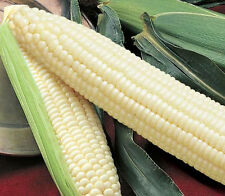 Silver Queen Corn Seeds - 20+ Non-GMO Organic Heirloom Vegetable Garden Seeds
