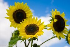 Lemon Queen Sunflower Heirloom Seeds - Non-Gmo - Untreated - Open Pollinated!
