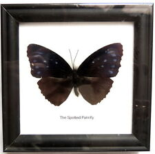 Cadre Véritable Papillon,The Spotted Palmfly,cadeau,collection,taxidermie,cadre,