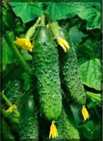 100 PCS Seeds Cucumber Plants Bonsai Vegetable Garden Free Shipping 2019 Rare N
