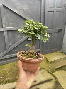 Great Example Chinese Elm Bonsai