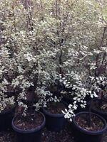 PITTOSPORUM VARIEGATED LARGE PLANTS 2+ mt High Hedge Tree Plant Screen