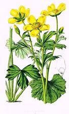 "Van Houtte's Horto Van Houtteano - ""YELLOW FLOWER?"" - Chromolithograph - 1850"