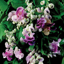VIGNA CARACALLA, Sweet Fragrance Corkscrew, Snail Vine 4 Seeds, Gorgeous