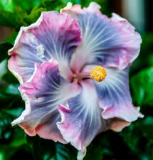 20 Blue Purple Hibiscus Seeds Hardy Perennial Flower Tropical Exotic Seed 2-243