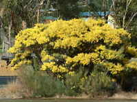Acacia boormanii - Snowy River Wattle  15 seeds