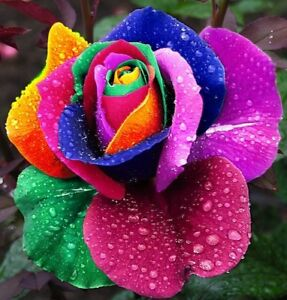 20 Seeds Multi- Colours Rare Rainbow Rose Flower seeds Home Garden Flower
