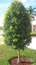 50+ Seeds Fresh Rare Dahoon Holly Florida Holly native tree shrub