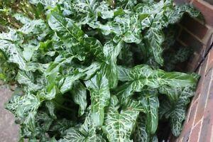 Arum Italicum Subsp. Italicum 'Marmoratum' Young Plant 9cm Pot x 3 Pots/ Plants