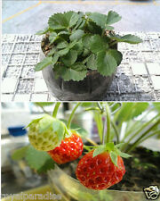 30pcs Red Strawberry Climbing Strawberry Fruit Plant Seeds Home Garden