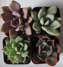 """4 PASTEL SUCCULENT COLLECTION 4 ROOTED SPECIMENS IN 2"""" POTS AND SOIL"""
