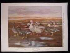 Vintage Print PLATE 19 New England Birds,1932, Louis Agassiz Fuertes GOOSE