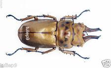 Allotopus moellenkampi moseri (m) - Genting Highlands, Malalysia (AM02)