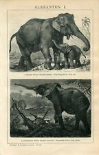 1895 AFRICAN ELEPHANT and INDIAN ELEPHANT  Antique Engraving Print F.Specht
