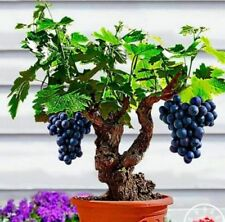 Miniature Grape Vine Seeds Organic Fruit Bonsai Seed Grape Seed Sweet - 50 Pcs