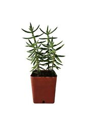 "Crassula Tetragona Succulent Mini Pine Tree 3"" or Taller Rooted Shipped 2"" Pot"