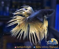 Premium Live Betta Fish : Male CT Black Mustard