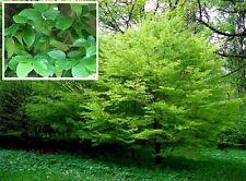 Hainbuche Samen schnellwüchsige winterharte grüne Bäume Laubbäume für den Garten
