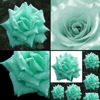 200 Minzgrün Rosen Samen Rosensamen Schmetterlinge lieben Garten Blume Same E5D5