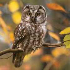 Serviette MAKI - Pensive Owl (33 x 33 cm)