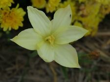 Rain Lily, Zephyranthes Ivory Star, 2 bulbs, NEW, habranthus