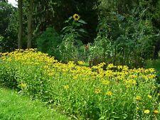 Gelber Sonnenhut Pflanzen Goldsturm Rudbeckia fulgida, absolut winterhart
