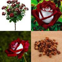 20 Stücke Schöne Red & White Osiria Ruby Rose Blumensamen Pflanzen Hausgart O7Z2
