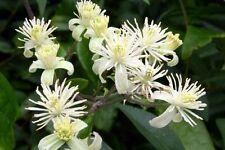 Clematis Vitalba 30 seeds-climbing plant