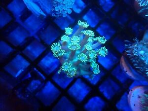 LPS blue eye Gonipora coral frag  . No SPS no zoa no softies coral