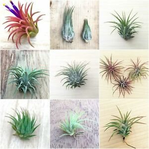 Air Plant Mix x 5 Different Named Tillansia airplants - indoor easy care house