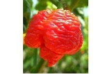 20 seeds Trinidad 7 pot (pod) Brain Strain RED hot pepper Extreme Rare Heirloom