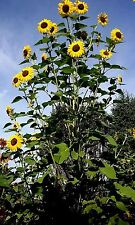 Sunflower #8 - 50+ Heads Per Plant. Looks like beautiful sunflower tree 15 Seeds