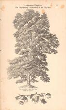 1844 - ANTIQUE BOTANICAL PRINT - THE TULIP BEARING LIRIODENDRON