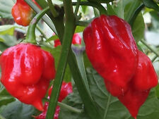 Trinidad Scorpion Red Chilli - 10 Seeds: One of the Hottest Chilli in the World