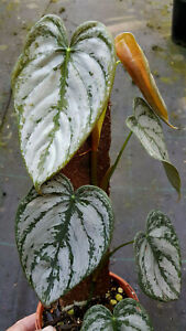 Philodendron Brandtianum    Rare Silvery Variegated Tropical Aroid