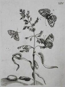 Gramen grass butterflies engraving Maria Sibylla Merian Europische Insecten 1730