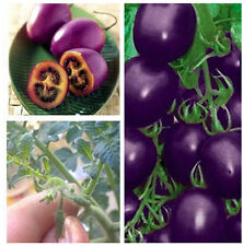 Purple Cherry Tomato Seeds Organic Indoor Home Potted Fruit Vegetable Plant 50X