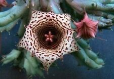New listing Huernia Volkartii Var. Repens * Very Rare* Beautiful! / Cactus Succulent
