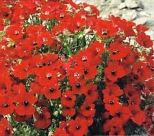Nemesia Fire King Annual Seeds