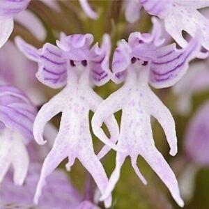 Pareidolie Orchidee Samen - Männchen