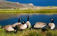 CANADA GOOSE (BLACK NYLON FLOCKING &  BLACK ADHESIVE) 100 HEAD KIT DUCK DECOY