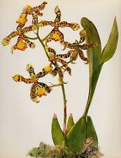 Antique ORCHID Print Botanical Flower Print Cottage Decor Odontoglossum #2168